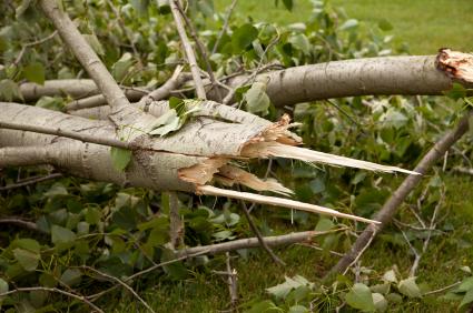 Image of fallen tree, Montgomery County to Begin Special Storm Tree Debris Pickups