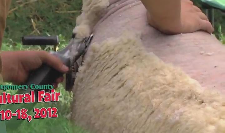 Sheep being sheered at Ag Fair