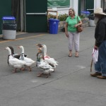 Image of geese at fair