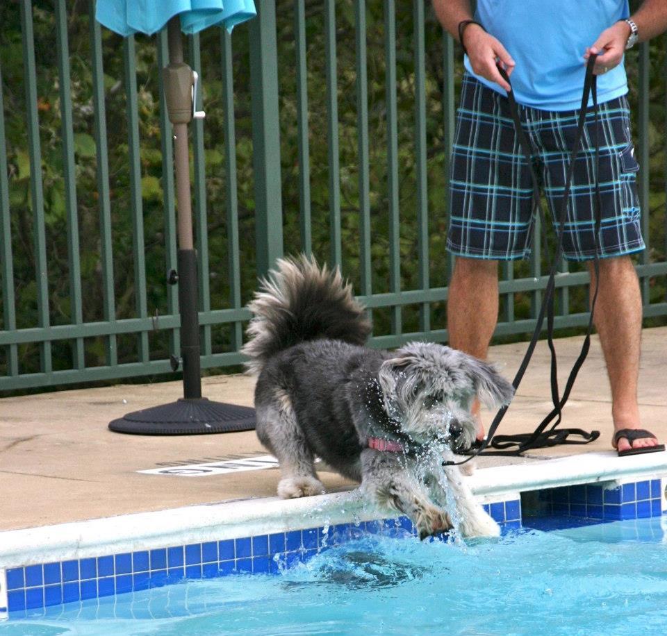 dog jumping in pool to swim