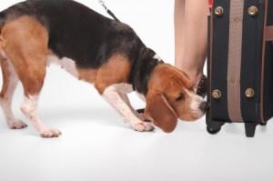 dog sniffing suitcase