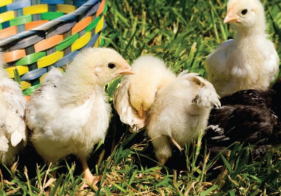 photo chicks
