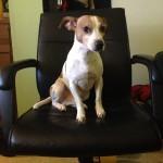 photo dog sitting in desk chair