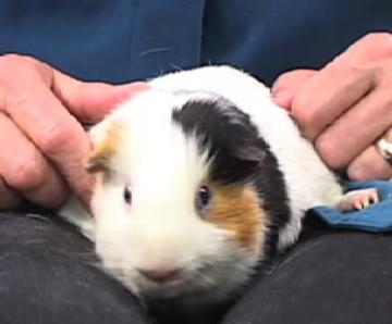 photo guinea pig