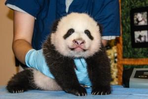 Panda Cub Photo | Brittany Steff, Smithsonian's National Zoo