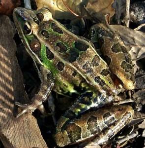 soutern leopard frog