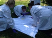 Researchers from Clongen Laboratories pick ticks off of a white sheet used to find ticks in Quince Orchard Park.