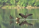 photo of geese at Lake Needwood
