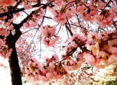 Pink, gorgeous cherry blossoms (c) Diana Belchase