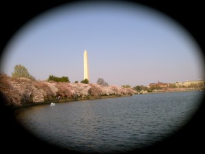 The Washington Monument surrounded by blooming cherry trees. (c) Diana Belchase