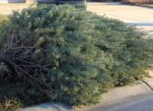 Christmas tree at curb for recycling