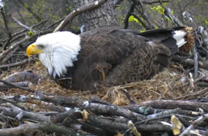 © 2016 American Eagle Foundation, EAGLES.ORG