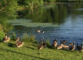Canade Geese for featured image
