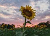 sunset poolesville sunflowers